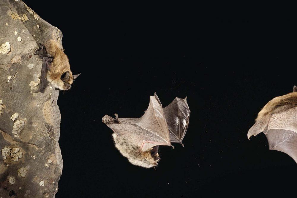 CaveBat-Cropped